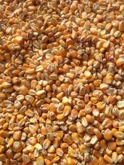 кукуруза кормовая из Казахстана