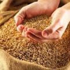 Продам пшеницу и фураж