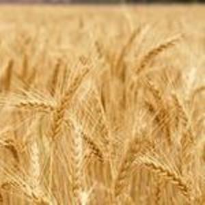 Пшеница 3-го класса из Казахстана