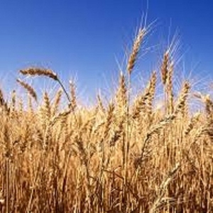 Пшеница 3,  4,  5 класса из Казахстана