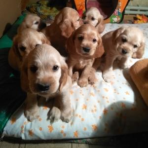 продаются чистокровные щенки английского кокер спаниеля